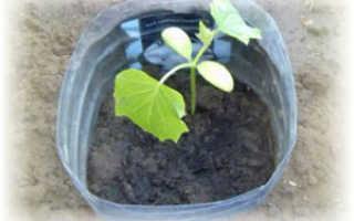 Выращиваем огурцы в пластиковой бутылке