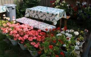 Садовая и комнатная герань (пеларгония): выращивание и уход