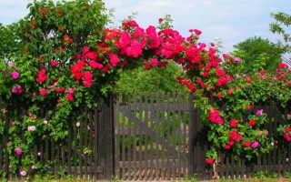 Все о плетистых розах