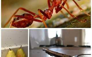 Как можно избавиться от маленьких муравьев на кухне?