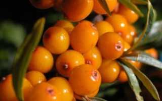 Облепиха — сорта, выращивание и уход, когда и как сажать